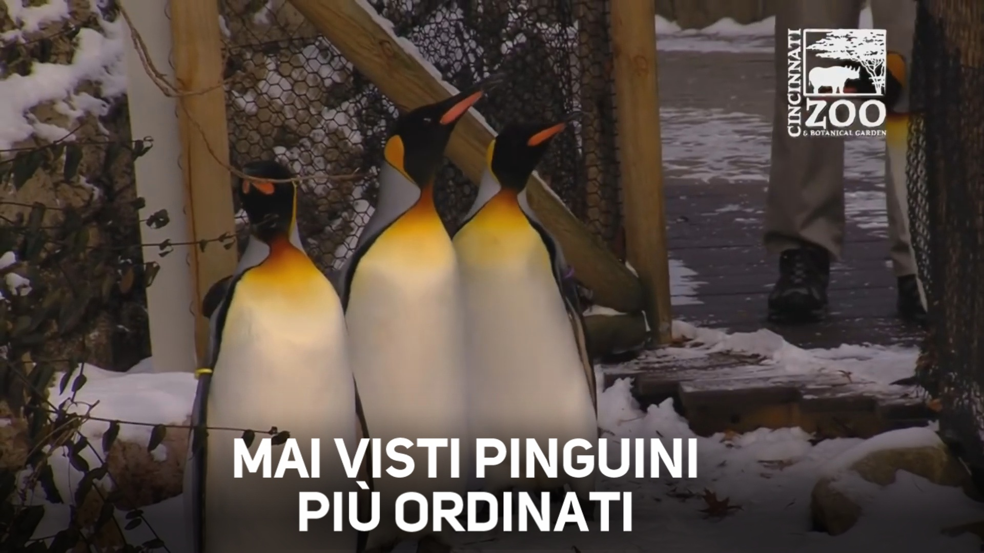 Avete mai visto una parata di pinguini?