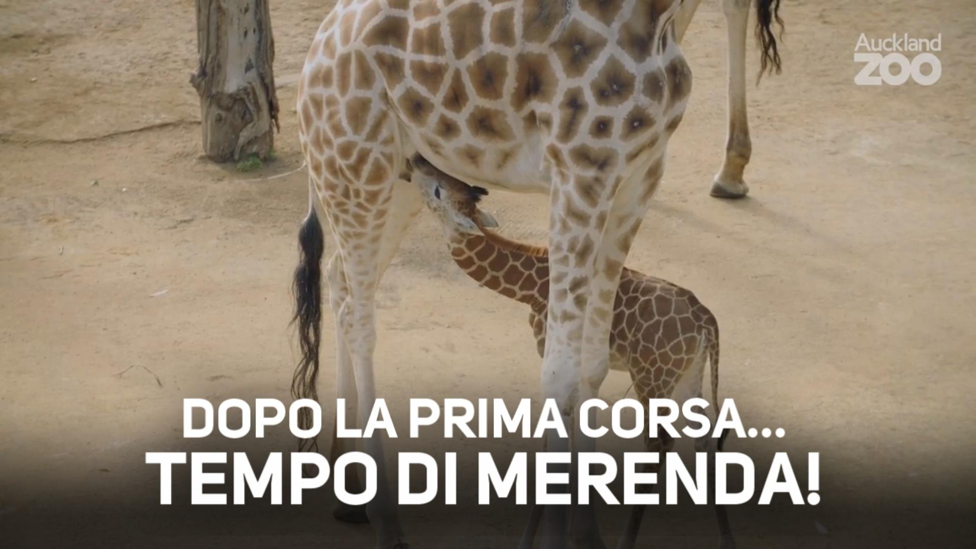 Dolce! Baby giraffa alla scoperta del mondo