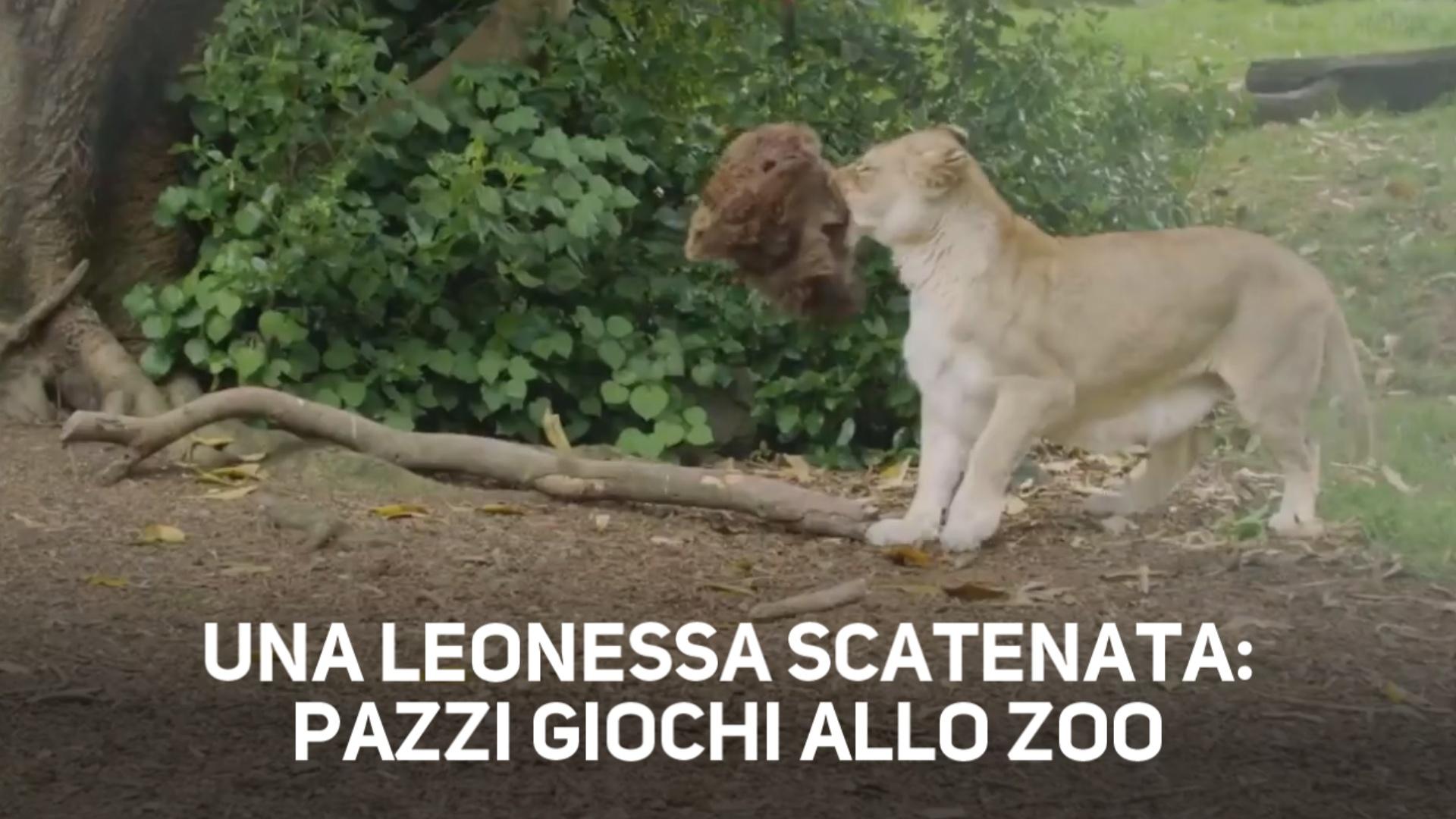 I leoni sono solo dei grandi gatti e questa e' la prova